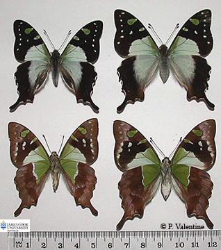 Images of Graphium macleayanus