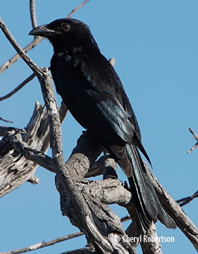 Drongo sitting in dead tree