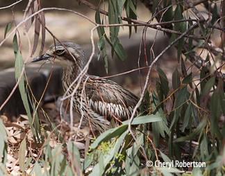 Daytime roosting under overhanging branches