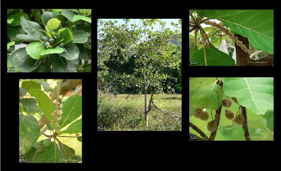 Terminalia spp.