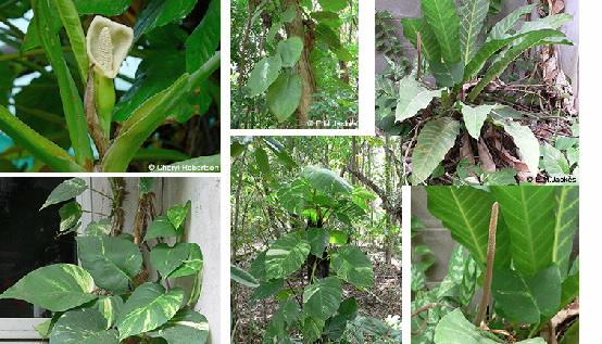 Composite images of various Araceae