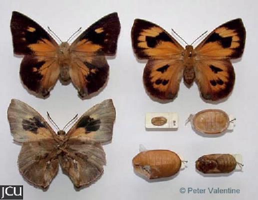 Liphyra brassolis