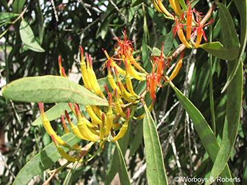 Image of Mistletoe