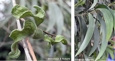 closeup of leaves and seed pods