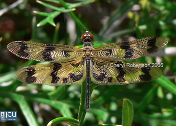 Image of Rhyothemis graphiptera