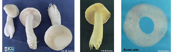 Images of Lyophyllum