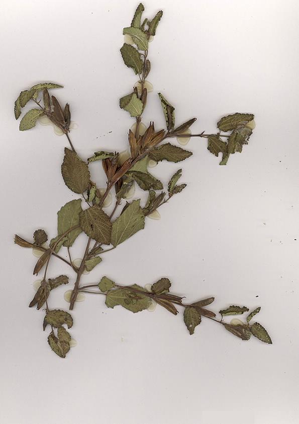 Scan of Conchorus aestuans
