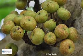 Image of Ficus variegta fruit