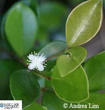 Image of Eugenia reinwardtiana flower