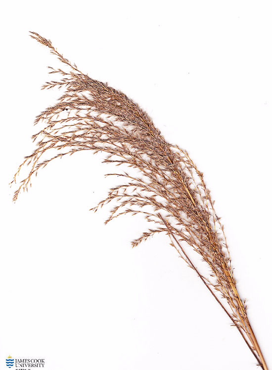 Scan of Miscanthus sinensis