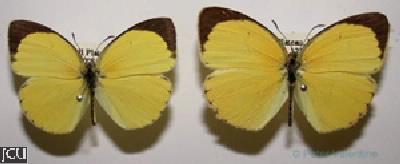 Eurema smilax