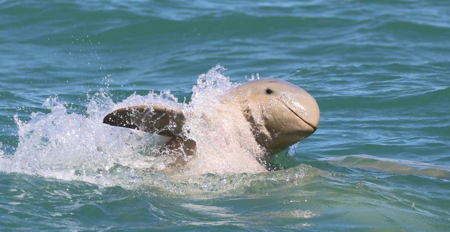 Snubfin dolphin