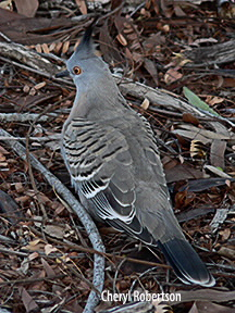 Dorsal view of crested pigeon