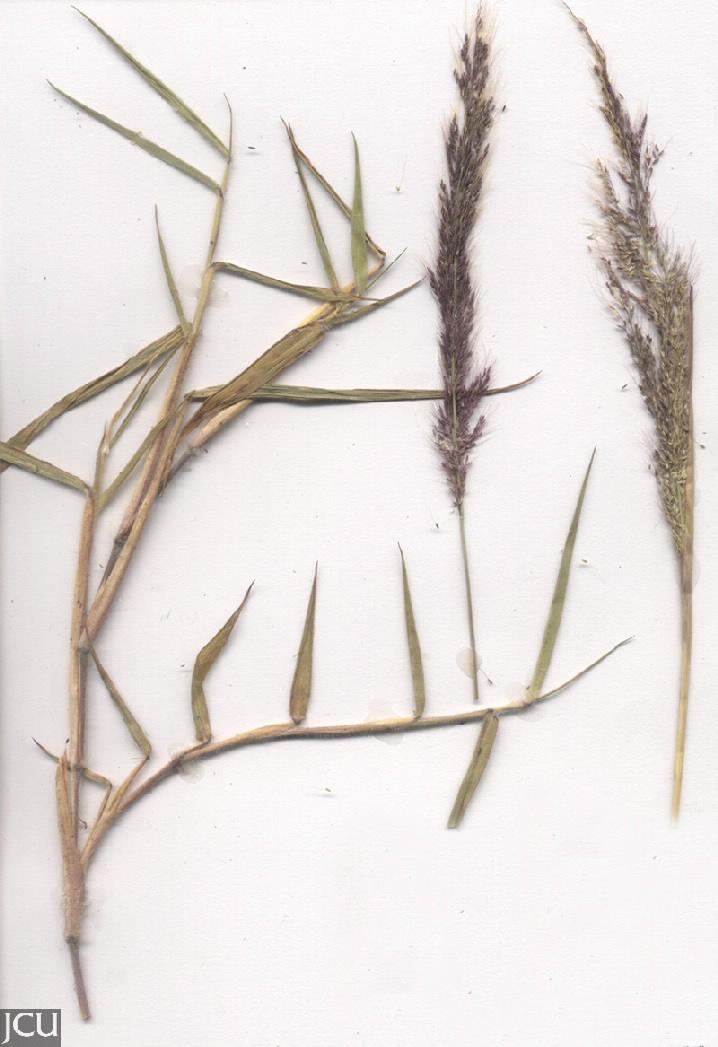 Melinus minutiflora