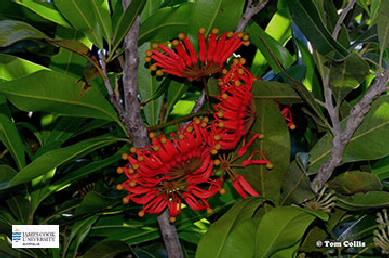 Image of Stenocarpus flowers and leaves