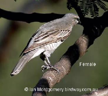 cicada bird