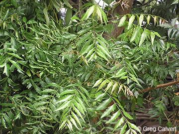 Image of Azadirachta indica