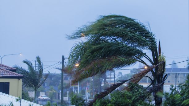 A palm tree bends in a cyclone