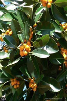 Ficus oblique