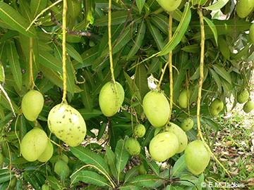 Image of Mango fruit