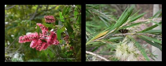 Callistemon / Melaleuca spp.
