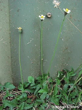 Image of Tridax procumbens