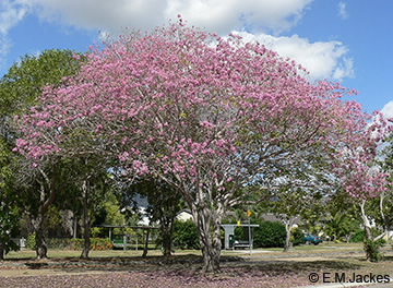 Image of pink trumpet tree