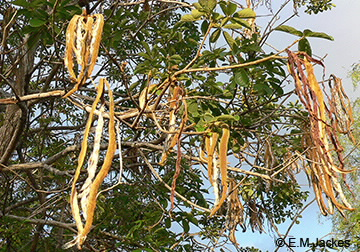 Image of Tabebuia pods