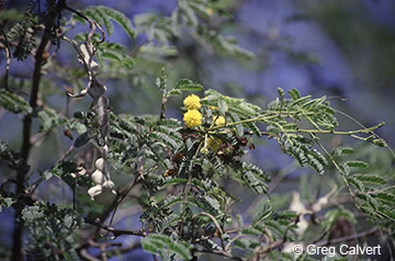 Image of Acacia nilotica
