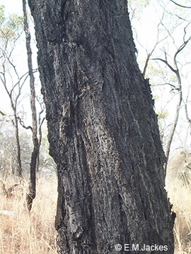 Image of trunk of Eucalypt
