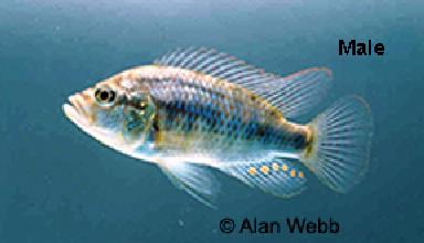 Burton's haplochromis male