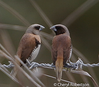 Pair on barbed wire