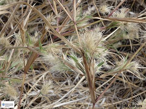 Image of Pennisetum basedowii