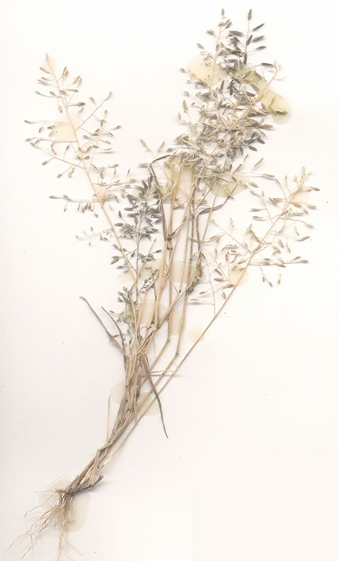 Scan of Eragrostis minor