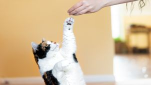 A calico cat reaches up to snatch a treat from hand