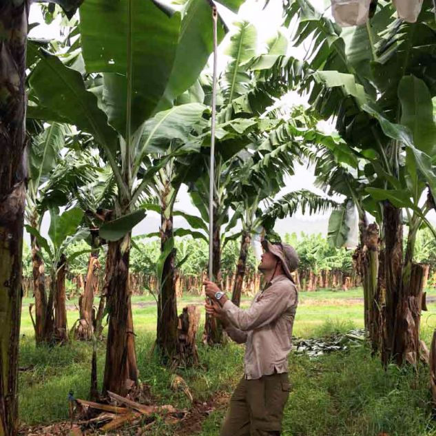 Paul Nelson taking a sample from a banana tree