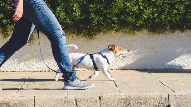 A Jack Russell terrier on a walk with owner