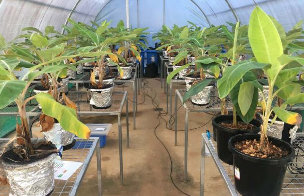 Banana tree seedlings growing in a greenhouse
