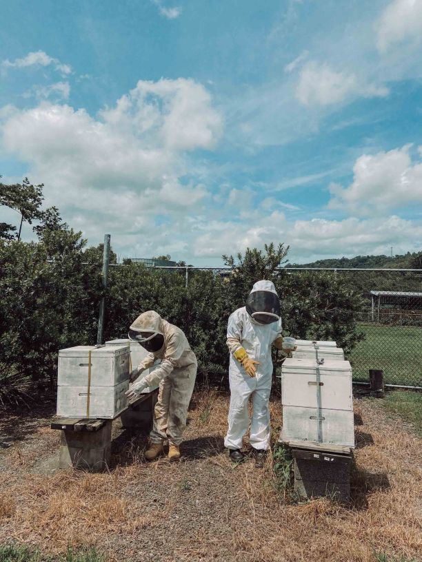 Two people wearing bee suits collecting bees from large white hive boxes.