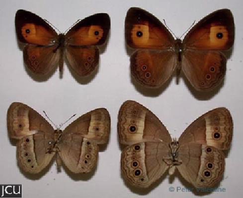 Mycalesis terminus