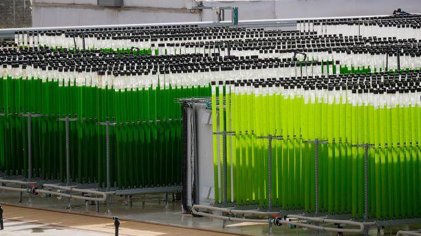 Farm growing algae in tubes