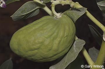 Image of fruit of Calotropis procera