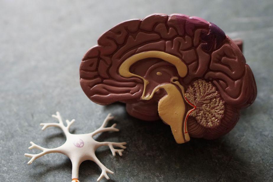 Cross section of a plastic model brain
