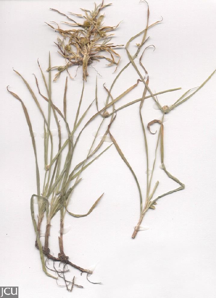 Cyperus brevifolius