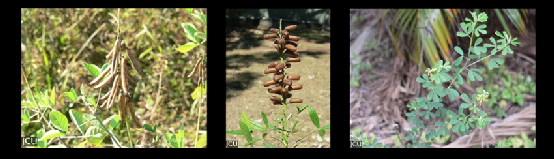 Crotalaria spp.