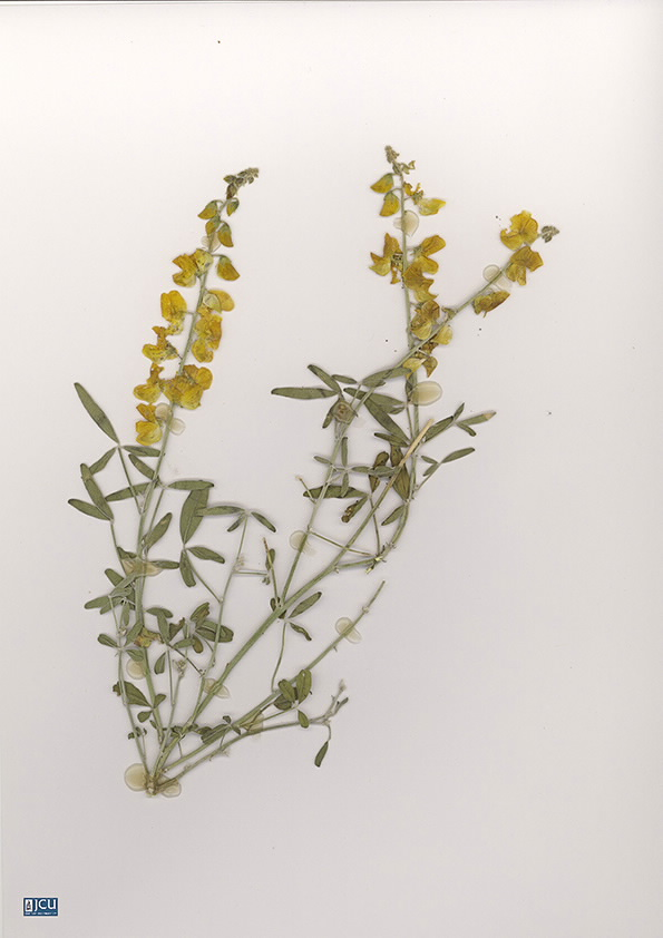 Scan of Crotalaria