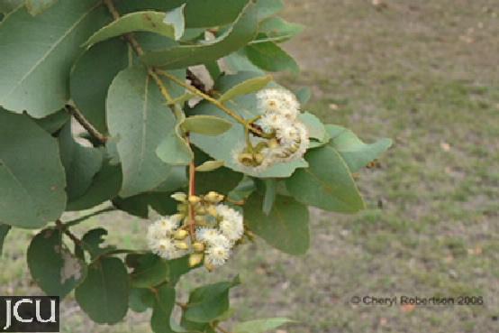 Eucalyptus melanophloia